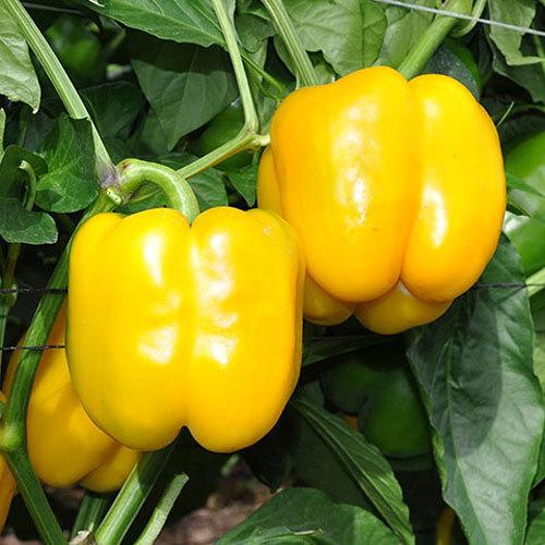 Перец Дикаприо F1 семена перца сладкого (Enza Zaden / Энза Заден) дикап.jpg