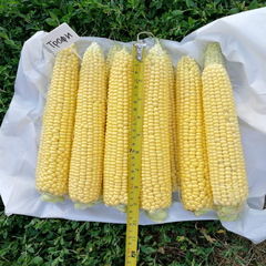Трофи F1 семена кукурузы (Seminis / Семинис)