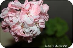 Пеларгония, Cook's Peach Blossom