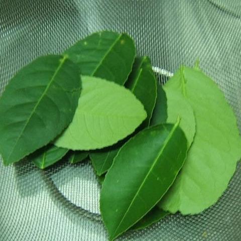 Лимонник китайский, лист