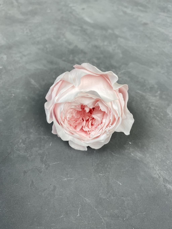 Роза пионовидная нежно-розовая d=5 см