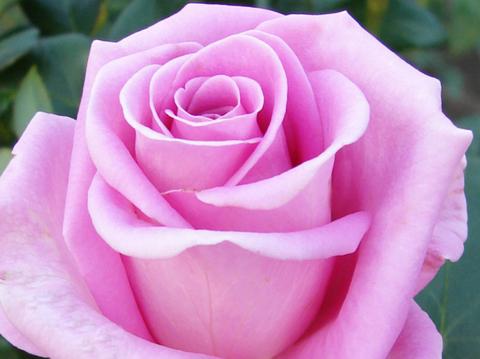 Роза чайно-гибридная Эйфель Тауэр (в тубе)