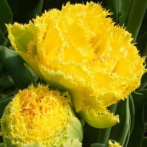 Тюльпан бахромчатый Голден Гейт (10 штук)