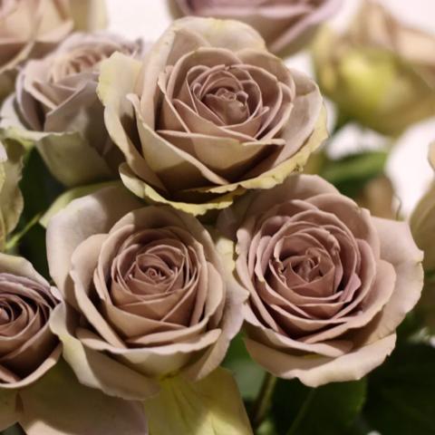 Роза чайно-гибридная Amnesia