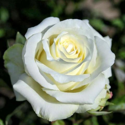 Роза чайно-гибридная Anastasia