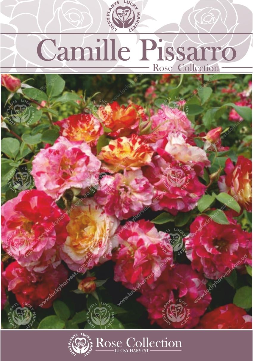 Троянда групи Флорібунда