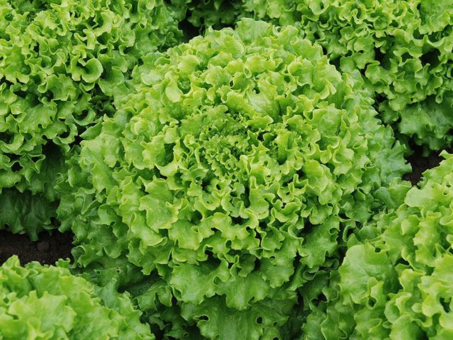Салат Кайпира семена салата батавия (Enza Zaden / Энза Заден) Кайпира.jpeg