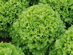 Кайпира семена салата батавия (Enza Zaden / Энза Заден)