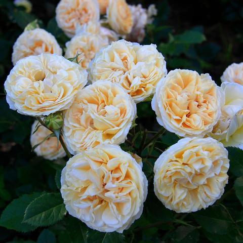 Роза чайно-гибридная Comtessa