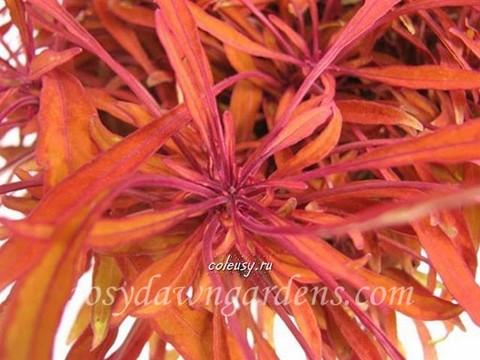 Sea Urchin Copper колеус
