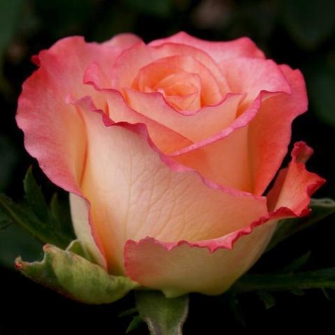 Роза чайно-гибридная Duett