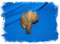 Мурекс болинус брандарис (Bolinus brandaris)