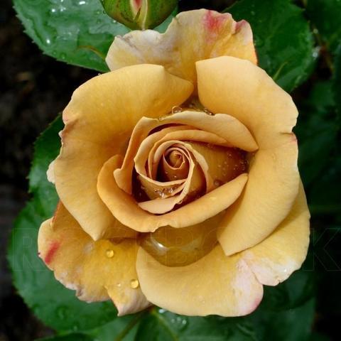 Роза чайно-гибридная Honey Dijon