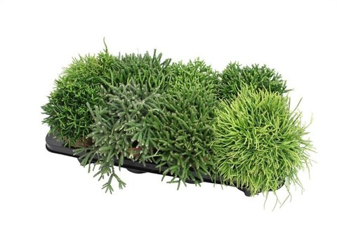 Рипсалис (Лесной кактус)