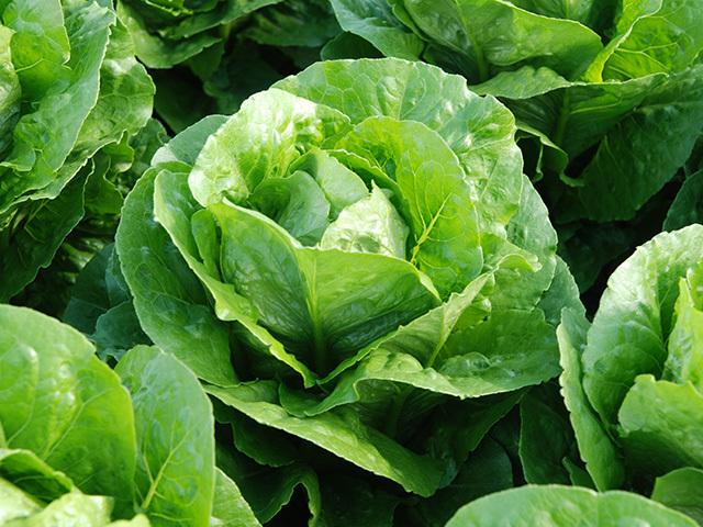 Салат Корбана семена салата ромэн (Enza Zaden / Энза Заден) Корбана.jpeg