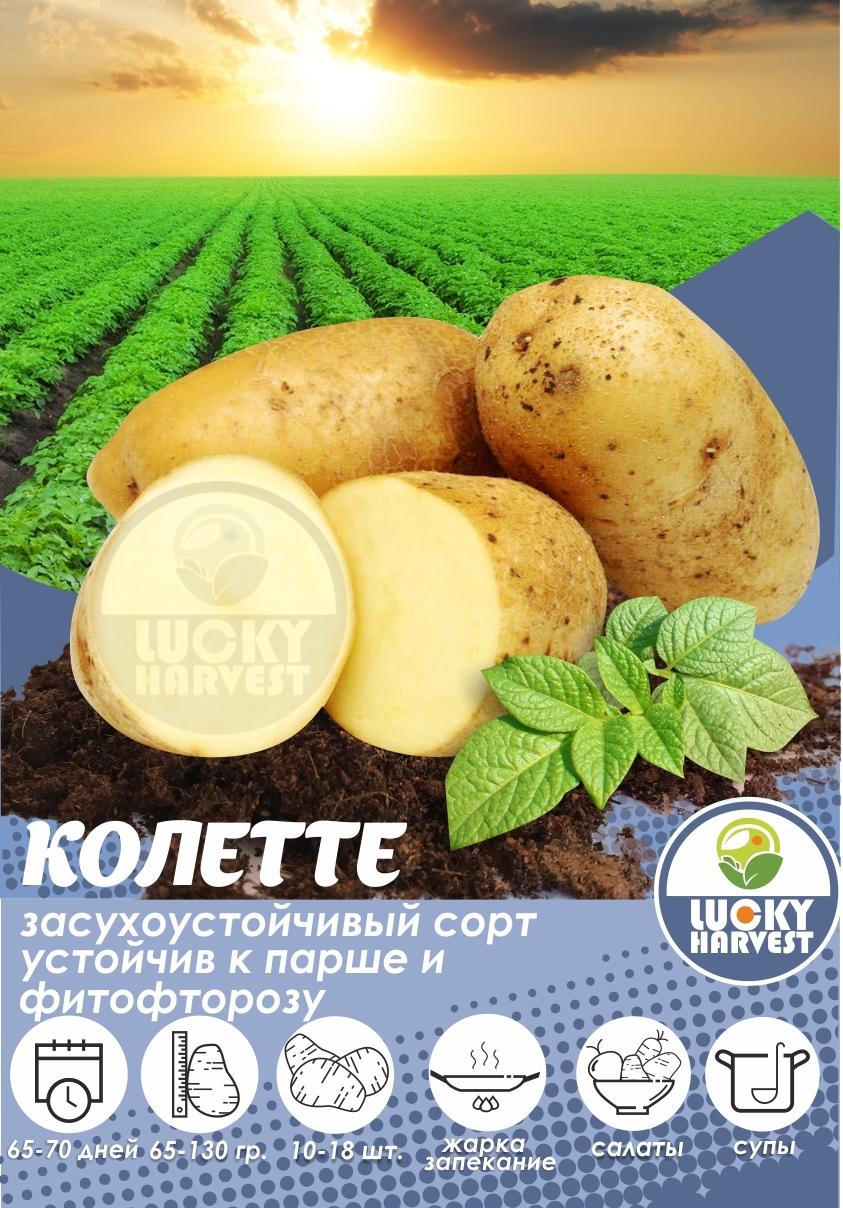 Семенной картофель  КОЛЕТТЕ  ТМ LUCKY HARVEST