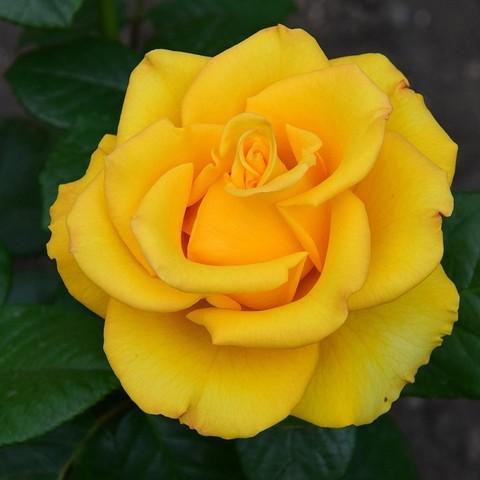Роза чайно-гибридная Kerio