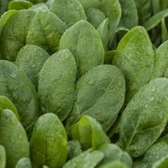 Меркат F1 семена шпината (Rijk Zwaan / Райк Цваан)