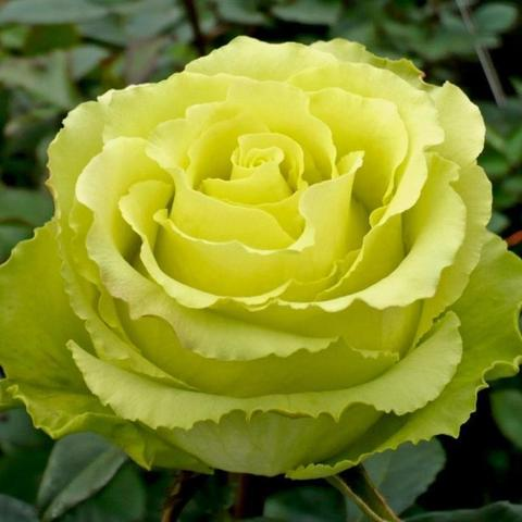 Роза чайно-гибридная Limbo