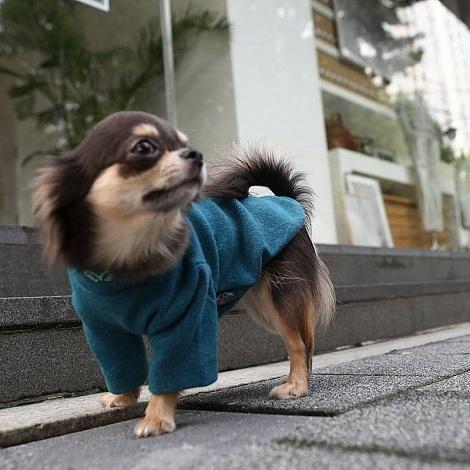 одежда для чихуахуа купить в москве в интернет-магазине