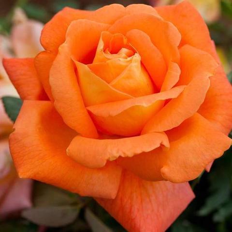 Роза Чайно-гибридная Louis de Funes