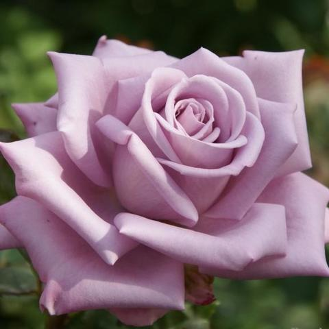 Роза Чайно-гибридная Mainzer Fastnacht