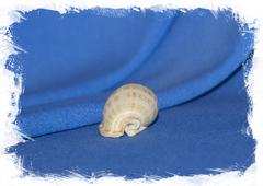 Semicassis granulata undulata
