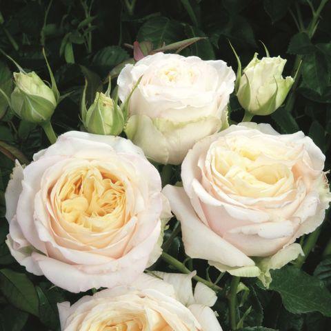 Роза Чайно-гибридная My Girl