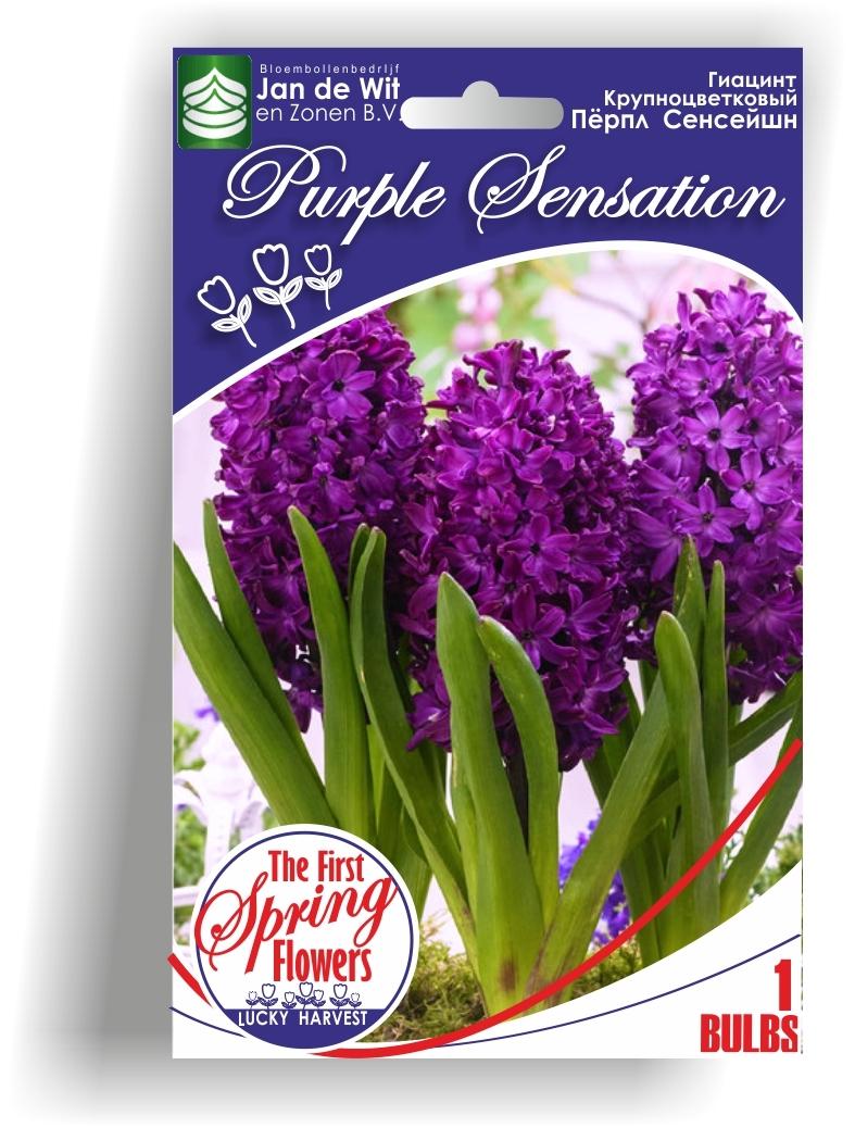 Гиацинт   Purple Sensation  (Пёрпл  Сенсейшн ) TM Jan de Wit en Zonen B.V.  ( количество в упаковке 1 луковица)