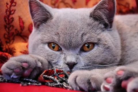 Алмазная Мозаика 40x50 Кот на подушке (арт. HWA2235 )