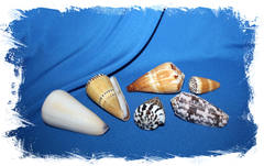 Набор морских ракушек Конус разные виды