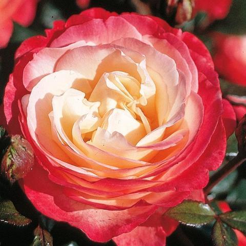 Роза Чайно-гибридная Nostalgie