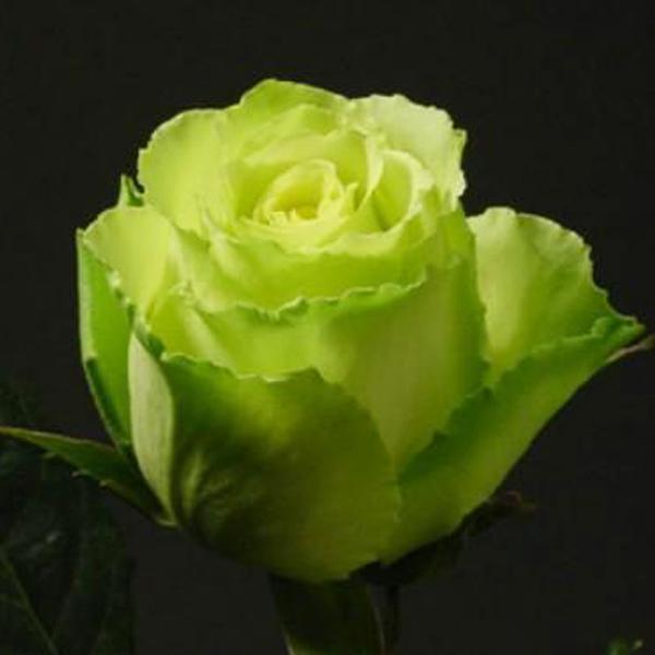 Роза чайно-гибридная  Доллар