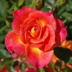 Купить Роза миниатюрная Мандарин