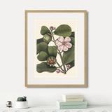 Марк Кейтсби - Balsam tree with pink flower, 1741г.