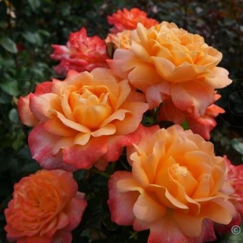 Роза чайно-гибридная Samaritan