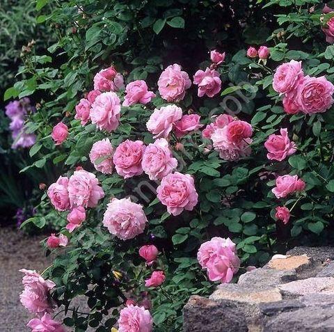 Мэри Роуз Mary Rose