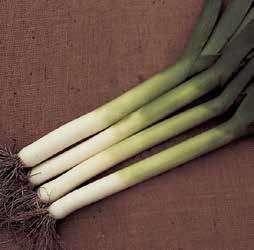 Порей Панчо семена лука порей (Hazera / Хазера) Панчо.jpg
