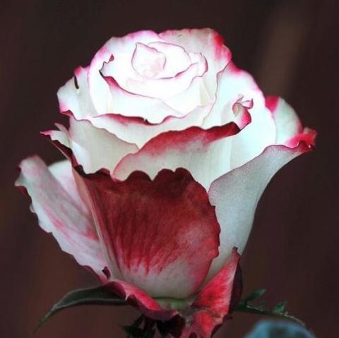 Роза Чайно-гибридная Sweetness