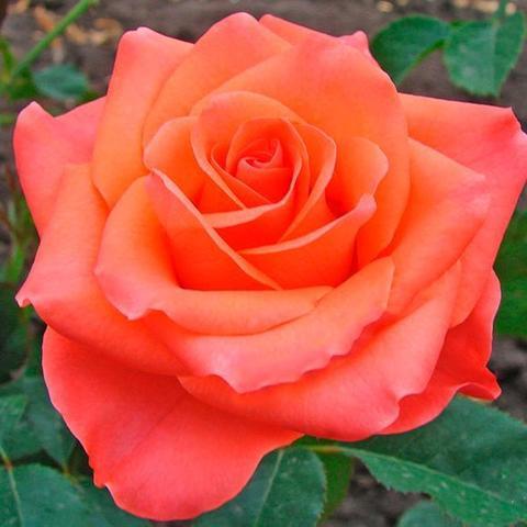 Роза чайно-гибридная Wow