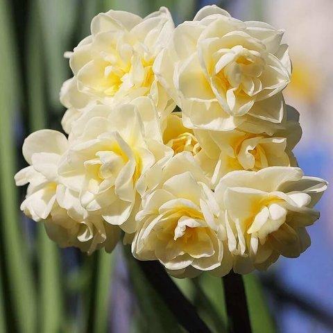Нарцисс махровый Эрличир  - 5 штук