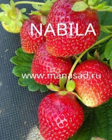 Земляника Набила (Nabila)