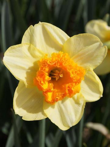 Нарцисс крупнокорончатый Булли (5 штук)