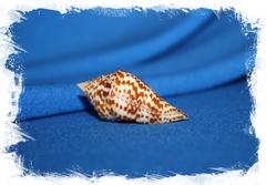 Конус праецелленс (Conus praecellens), Conus bicolor, Conus sinensis, Conus sowerbii купить
