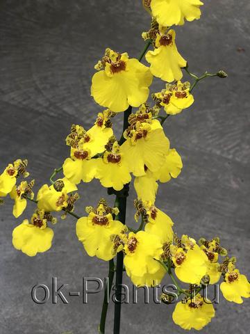 Онцидиум Желтый
