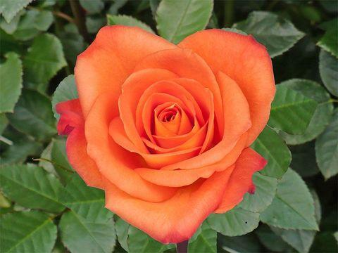 Роза чайно-гибридная Миракл (в тубе)