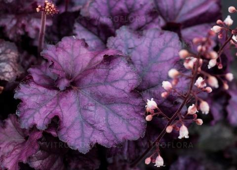 Иссиня-фиолетовая солнцестойкая гейхера