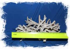 коралл Стагхорн (Staghorn coral) размер