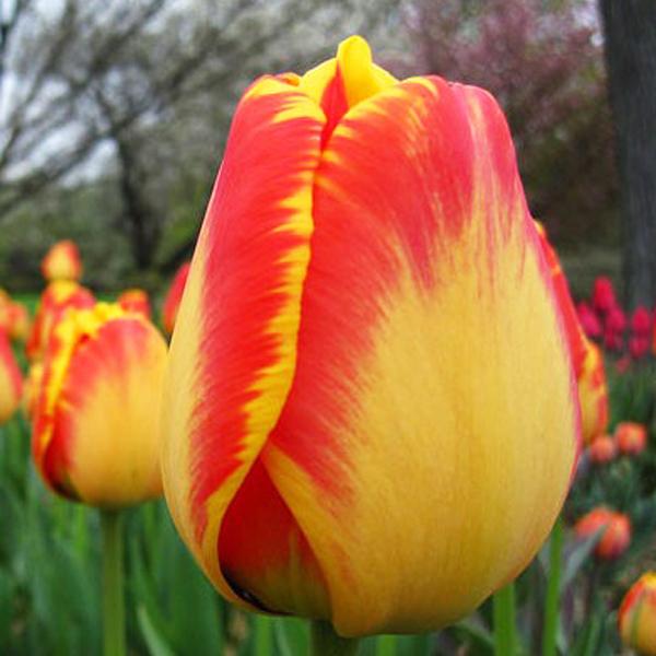 tulip-American-Dream-01