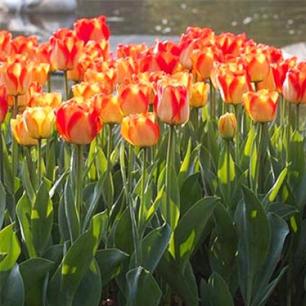 tulip-American-Dream-02